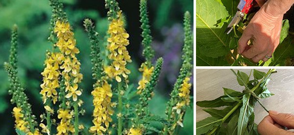 How to Grow, Harvest and Use Agrimony for Digestive Problems