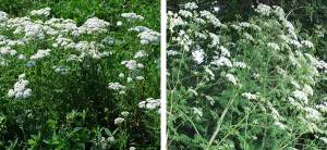 How To Tell The Difference Between Yarrow And The Poisonous Hemlock
