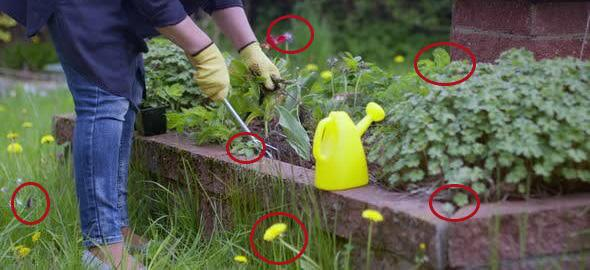 6 Beneficial Weeds You Shouldn't Have Pulled Out from your Garden!