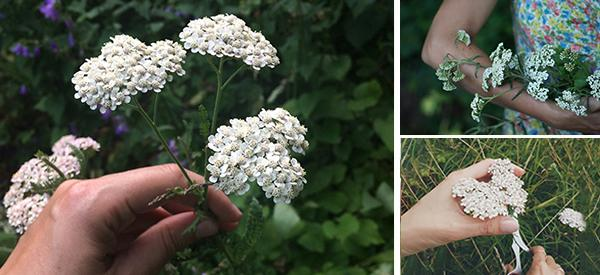 What You Should Know About Foraging Yarrow