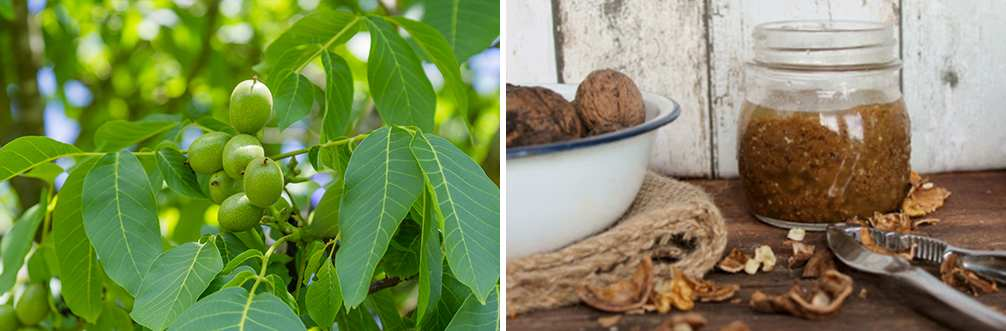 25 Little Known Medicinal Uses for Tree Bark - Black Walnut