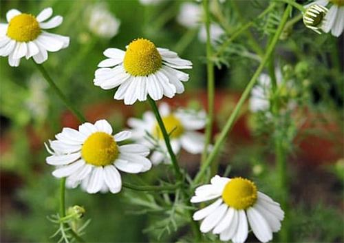 Just like Xanax, the Anxiety Relieving Plant That Grows in Your Backyard - Flowers
