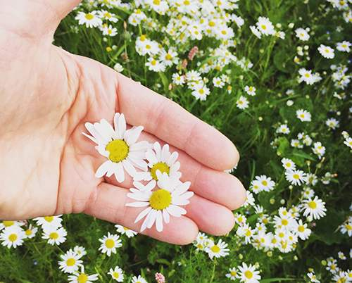 Just like Xanax, the Anxiety Relieving Plant That Grows in Your Backyard Picking Chamomile