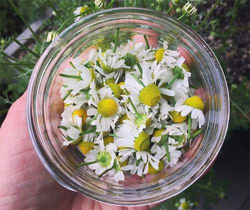 Just like Xanax, the Anxiety Relieving Plant That Grows in Your Backyard Picking Chamomile2