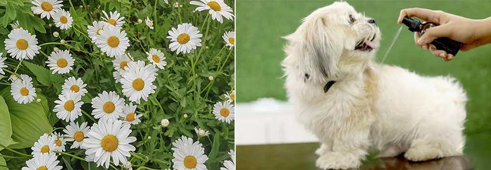 Herbal Remedies for Pets - Chamomile
