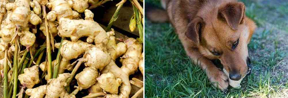 Herbal Remedies for Pets - Ginger