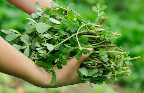 How to Make An Anti-Imflammatory Herbal Jar - Picking up Purlsane