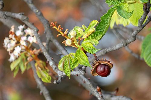 How to Treat Varicose Veins with Chestnuts - Plant