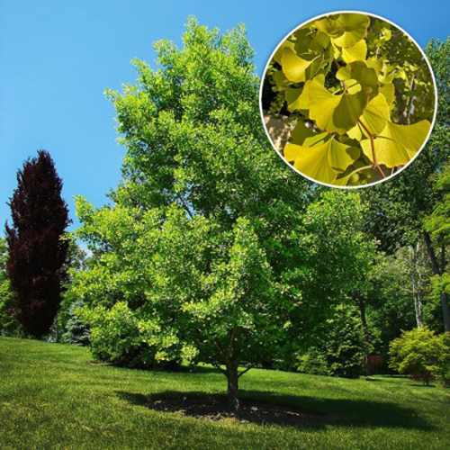 5 Natural Remedies to Treat Vertigo - Gingko Biloba Tree