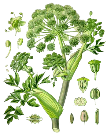 Plant of The Week: Angelica Identification