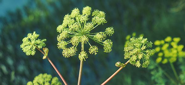 Plant of The Week: Angelica