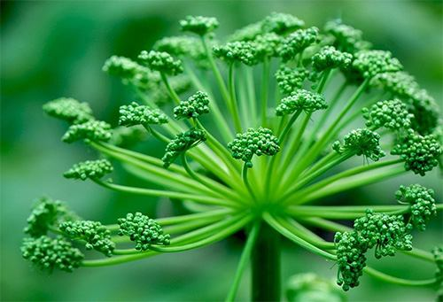Plant of The Week: Angelica - History