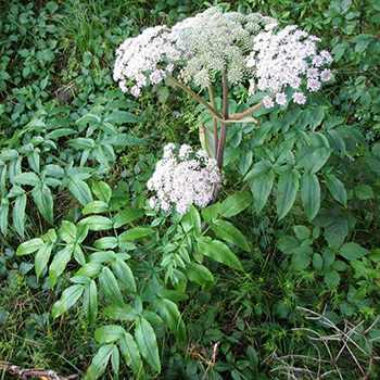 Plant of The Week: Angelica -Benefits