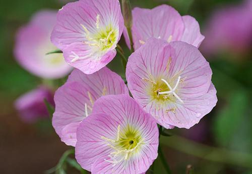 Evening Primrose Species