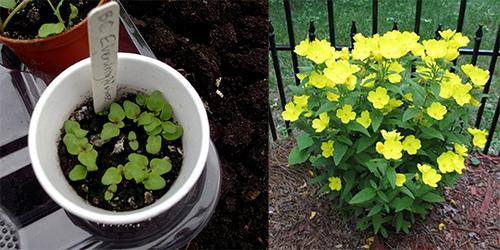 Grow Evening Primrose