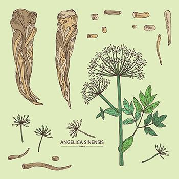 Plant of The Week: Angelica -How to Harvest