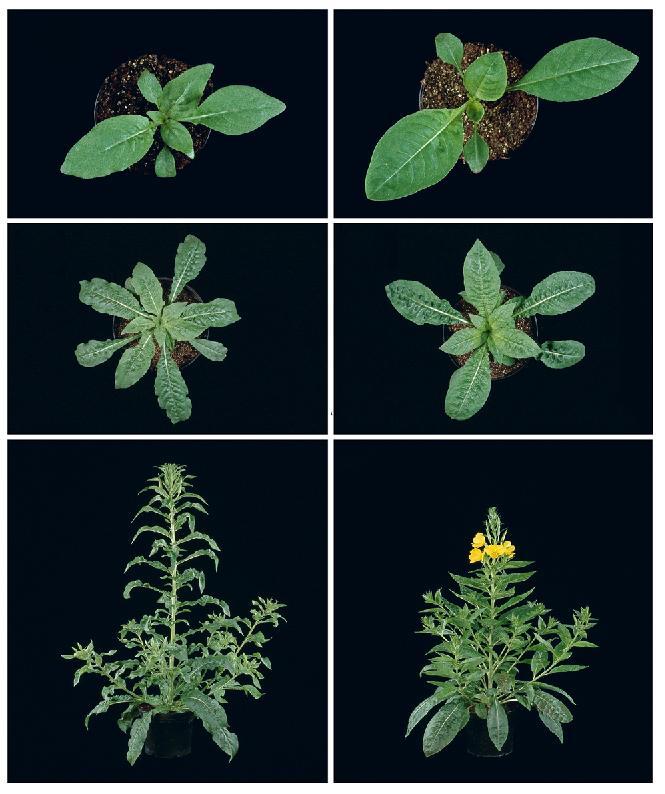 How to Grow Evening Primrose