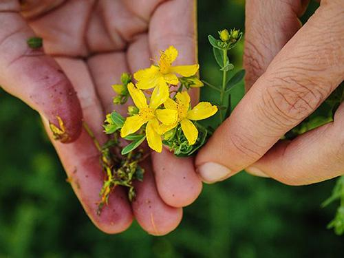 Plant of The Week - St John Wort Growing