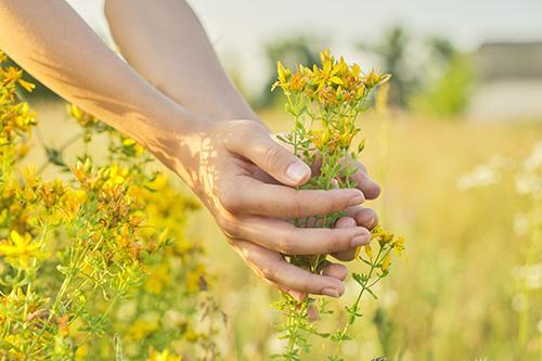 Plant of The Week - St John Wort - Harvest