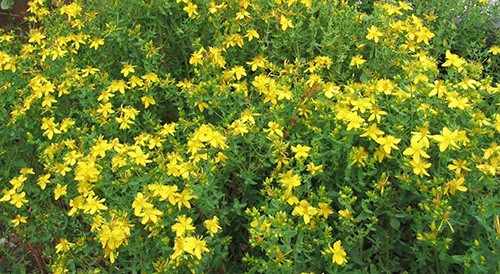 Plant of The Week - St John Wort History