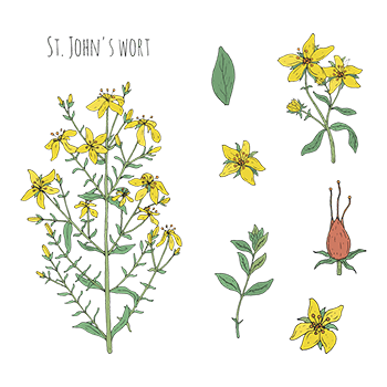 Plant of The Week St Johns Wort - Identification