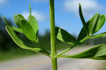 Plant of The Week - Stem