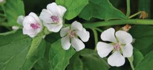 Plant of the Week Marshmallow Cover