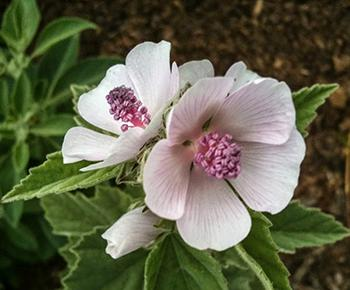 Plant of the Week Marshmallow - Flower