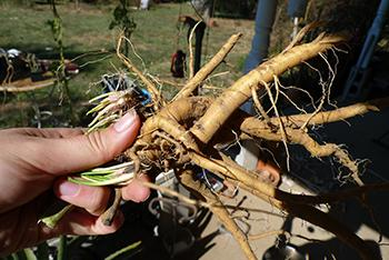 Plant of the Week Marshmallow - Roots