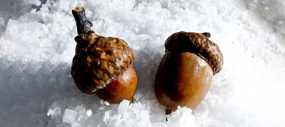15 Things You Could Forage in Winter - Acorns