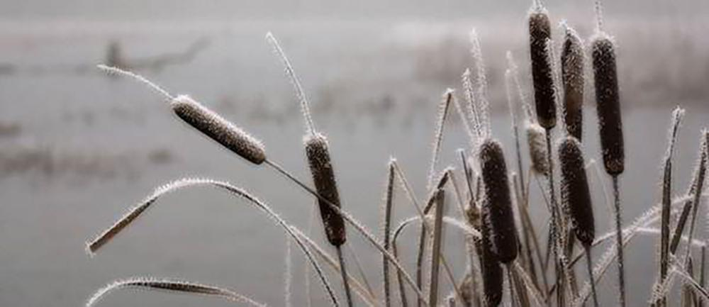 15 Things You Could Forage in Winter - Cattail
