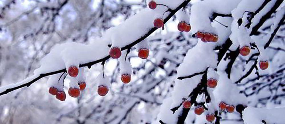 15 Things You Could Forage in Winter - Crabapples