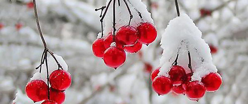 15 Things You Could Forage in Winter - Frozen Cranberries