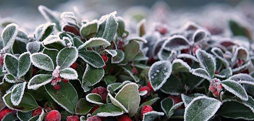 15 Things You Could Forage in Winter - Wintergreen