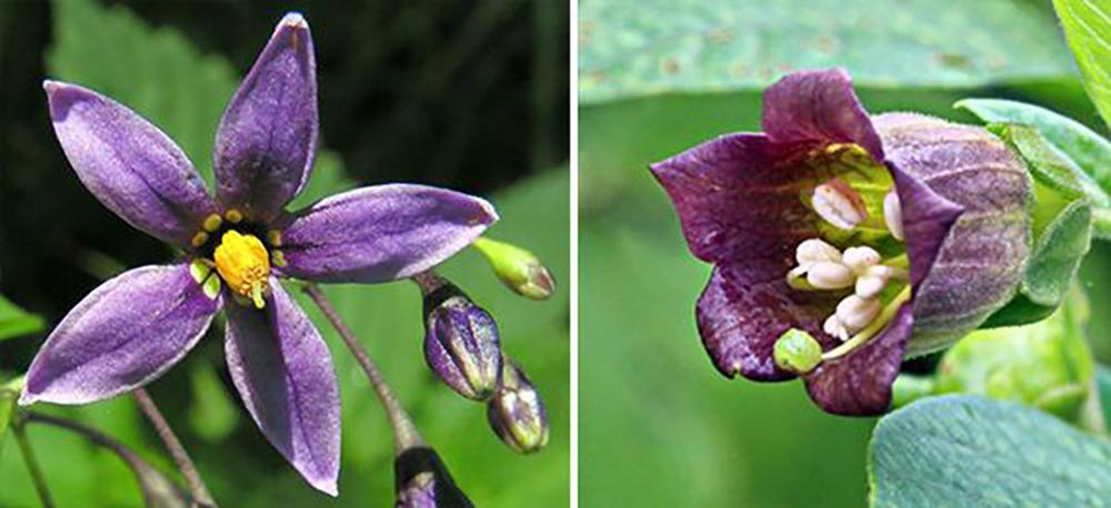 Bittersweet vs Deadly Nightshade - Flower