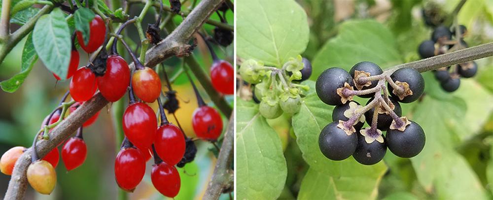 Bittersweet vs Deadly Nightshade - Fruit