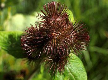 Burdock - Seeds