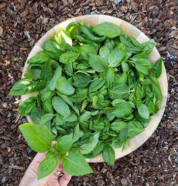 Harvest Basil