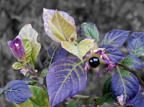 How to tell the difference between bittersweet nightshade and deadly nightshade - Deadly Nightshade