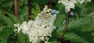 Meadowsweet - Cover