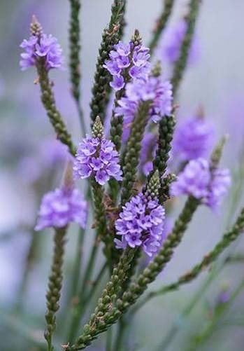 Vervain The Medicinal Plant that Should be Part of Your Apothecary - Benefits