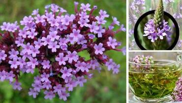 Vervain: The Medicinal Plant that Should be Part of Your Apothecary