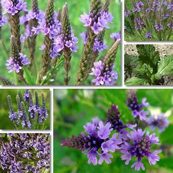 Vervain The Medicinal Plant that Should be Part of Your Apothecary - Identification