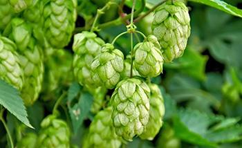 30 Anti-Axiety Remedies Yoou Didn't Know About - hops