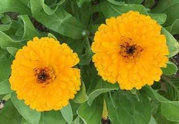 Calendula- Flower
