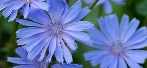 Chicory - Cover