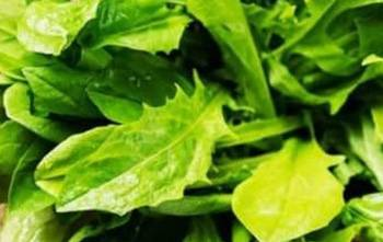 Chicory - leaves