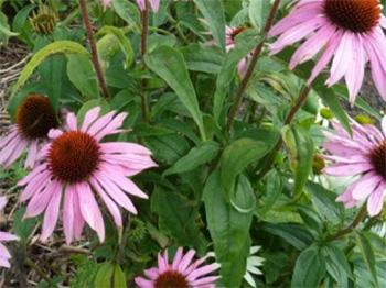 Echinacea - leaves and flower