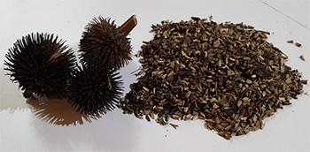 Echinacea - seeds