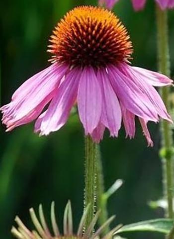 Echinacea - stem